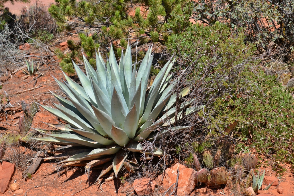 A cactus in Sedona, Arizona