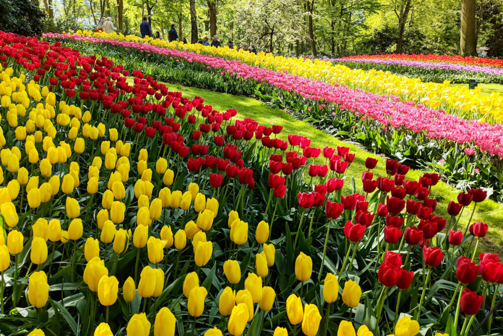 rows of yellow tulips, red tulips and pink tulips and the Keukenhof Gardens outside Amsterdam in The Netherlands